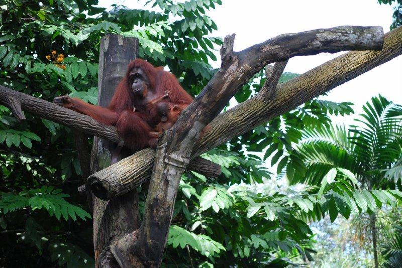 Singapore Zoo - Orang utans