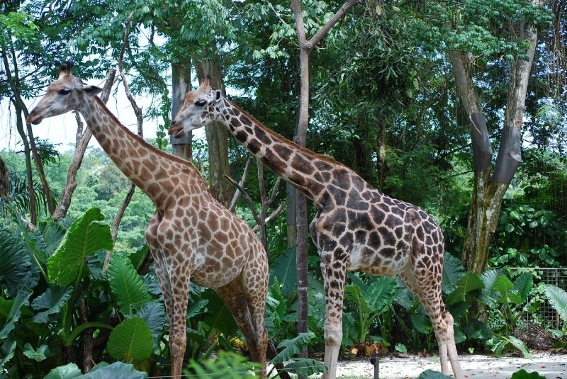 Singapore Zoo - Giraffes
