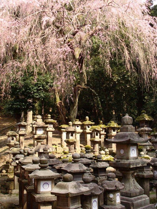 Cherry tree and lanterns