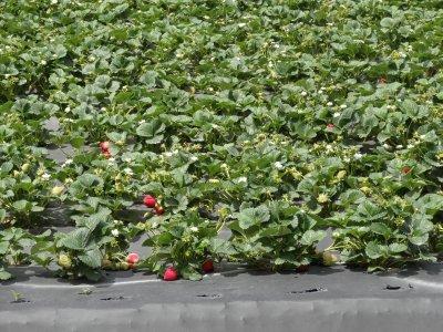 April_14_-_Strawberries.jpg
