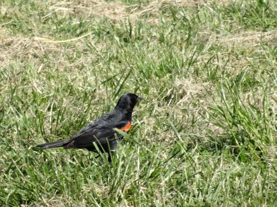 April_22_-..g_Blackbird.jpg