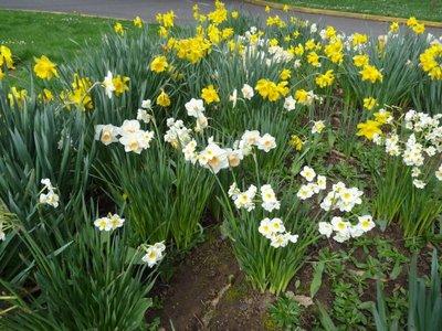 April_3_-_OR_Daffodills.jpg