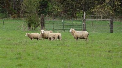 April_3_-_OR_Sheep.jpg