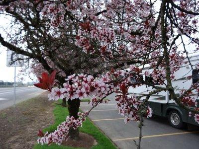 Blossoms_i..Parking_Lot.jpg
