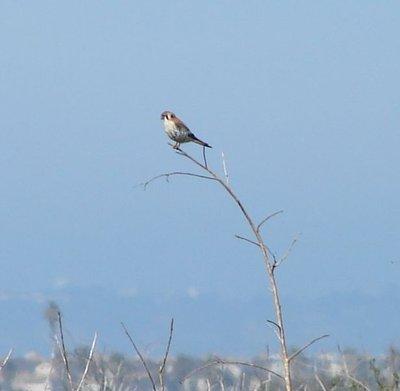 Day_175_-_..Sparrow.jpg