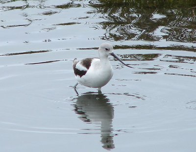 Day_176_-_.._Avocet.jpg