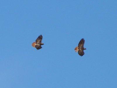 Day_178_-_Two_Hawks.jpg