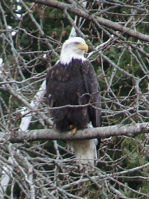 Day_210_-_Bald_Eagle.jpg