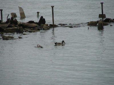 Day_25_-_OH_Ducks.jpg