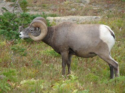 Day_5_-_Gl..n_Sheep.jpg