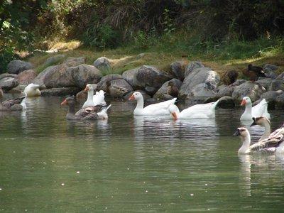 Day_5_-_Ka..k_Geese.jpg