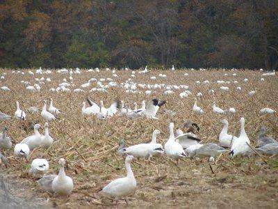 Day_79_-_Snow_Geese.jpg