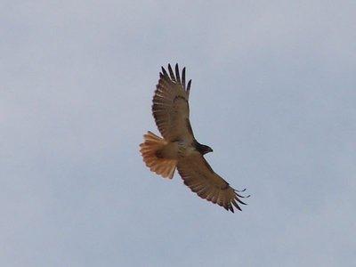 Day_87_-_R..ed_Hawk.jpg