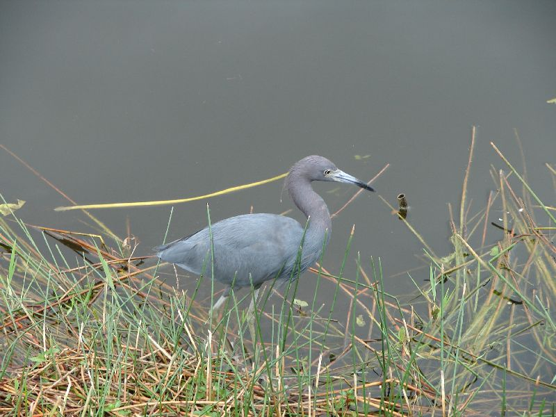 Day 122 - Everglades, Small Blue Heron 2