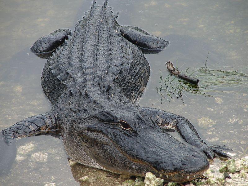 Day 122 - Everglades, Gator