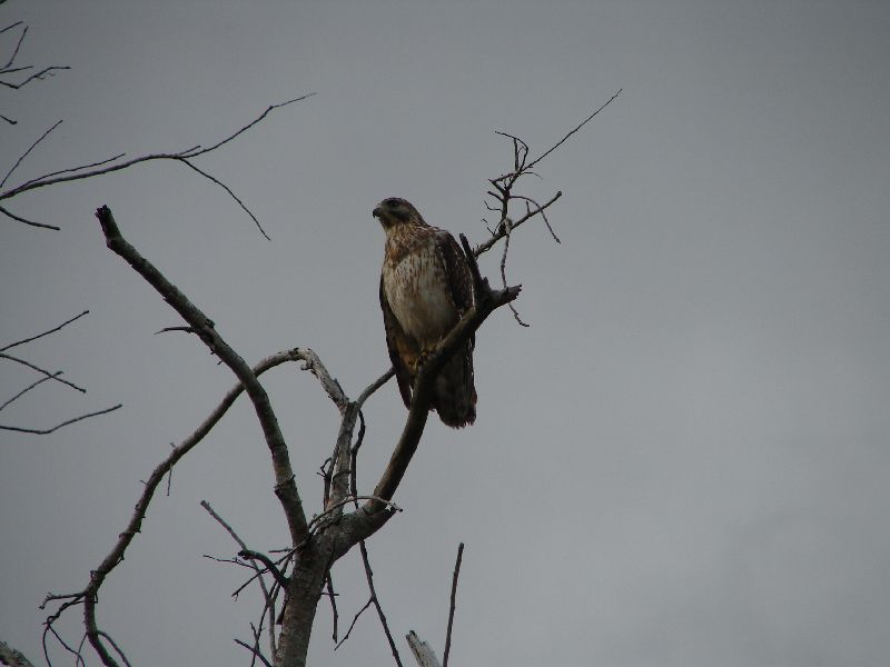Day 122 - Everglades, Red Shouldered Hawk