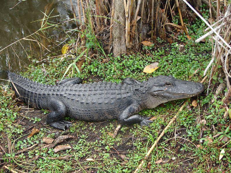 Day 122 - Everglades, Gator on Land