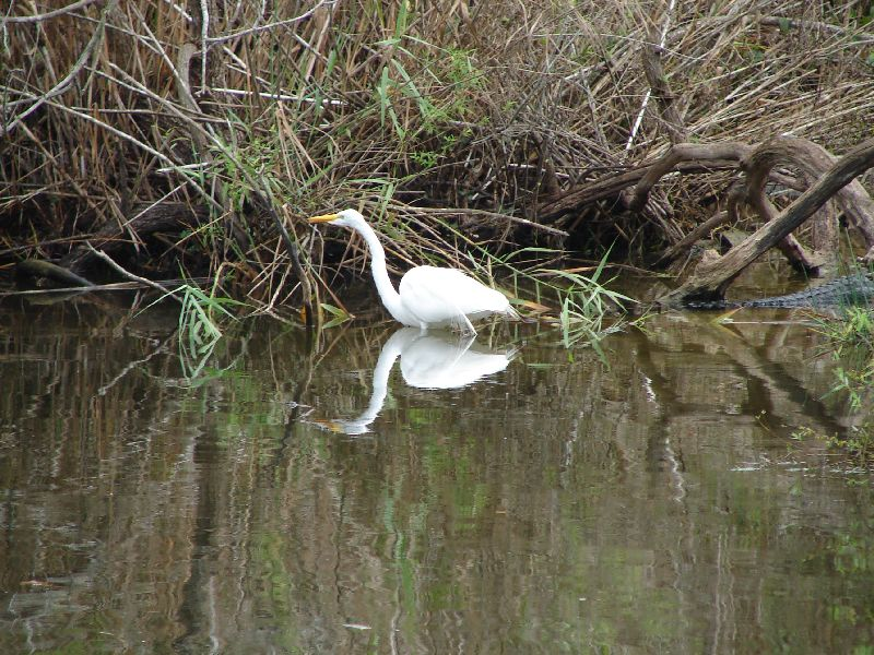 Day 122 - Everglades, Great Egret