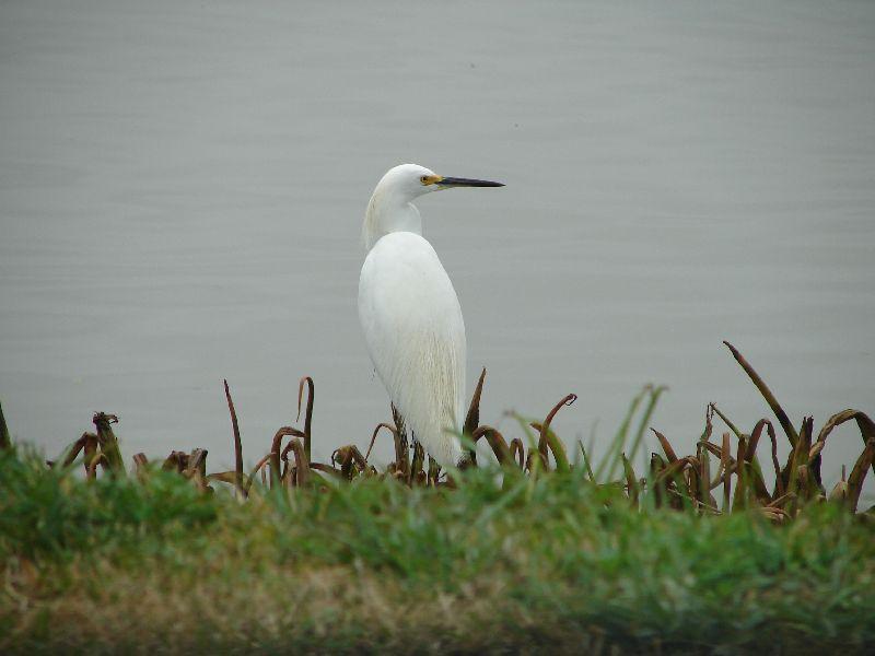 Day 144 - Snowy Egret