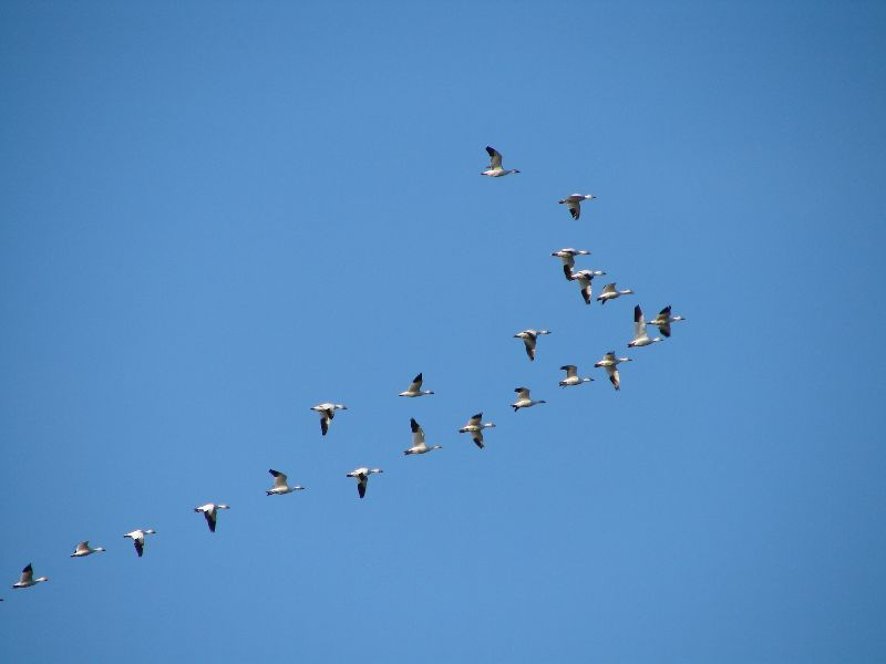 Day 184 - Snow Geese