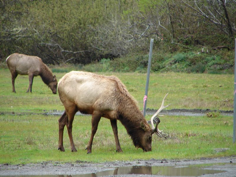 Day 200 - Wild Elk by Road, Bull