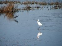 Day_104_-_HB, Great_Egret & Tricolor Heron