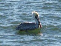 Day_107_-_..Pelican.jpg