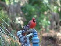 Day_109_-_Cardinal.jpg