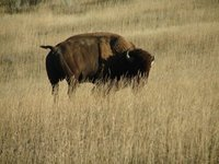 Day 10 - Badlands NP, Bison