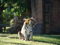 Day_121_-_..__Tiger.jpg