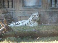 Day_121_-_..e_Tiger.jpg