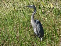 Day 123 - Everglades, Great Blue Heron 2