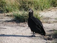 Day_123_-_..Vulture.jpg