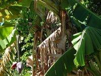 Day_126_-_Banana_Tree.jpg