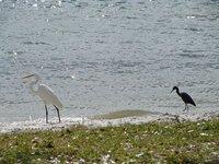 Day 129 - Great Egret & Little Blue Heron