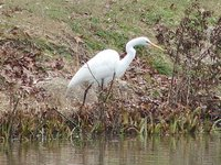 Day_144_-_Great_Egret.jpg