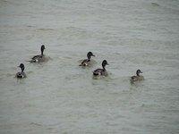 Day_150_-_..l_Ducks.jpg