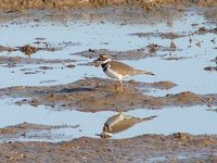 Day_192_-_Killdeer.jpg