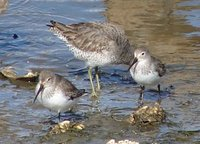 Day_208_-_Sanderlings.jpg