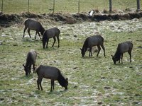 Day 210 - Roosevelt Elk, Small Group