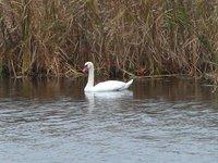 Day_56_-_Swan.jpg