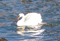 Day_57_-_Swan.jpg