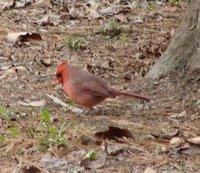 Day_63_-_Cardinal.jpg