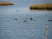Day_65_-_NWR__Ducks.jpg