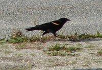 Day_82_-_Blackbird.jpg