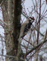 Day_87_-_Woodpecker.jpg
