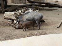 Hogs___baby.jpg