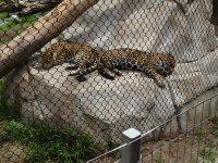 Jaguar_Twins_2.jpg