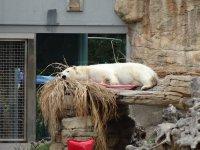 Polar_Bear_1.jpg