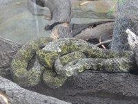 Snakes_-_M..ntain_Snake.jpg